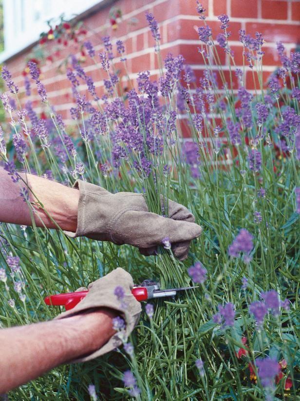Garden Bush: Pruning Lavender Plants