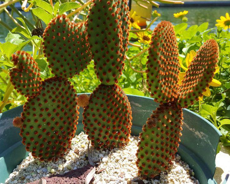 Cinnamon Bunny Ear Opuntia Cactus, Opuntia microdasys subsp. rufida, Group of 3 plants! Cactus Succulent Plant by SucculentEnvy on Etsy