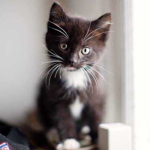 tiniest, most adorable little tuxedo kitten!