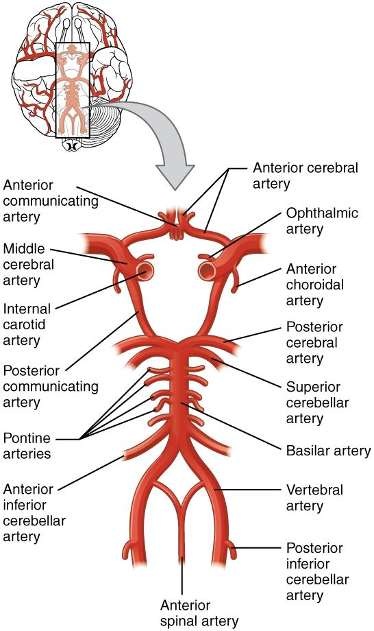 circle of willis - Google Search