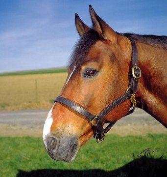 APOLLO duplabőrös bőrkötőfék Állítható orrszíjjal, bivalybőrből, amely rendkívül erős, és strapabíró.   Gyönyörű havanna és fekete színben.