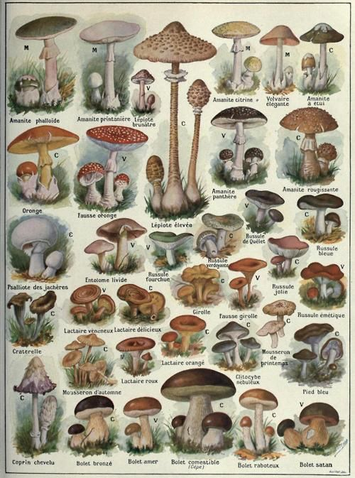 Some common Ascomycetes and Basidomycetes of the World  Both toxic and nontoxic species shown.  Histoire Naturelle Ilustree: Les Plantes. Julien Costantin and F. Faideau, 1922.