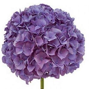 Bulk Discount Flowers - Purple Hydrangeas