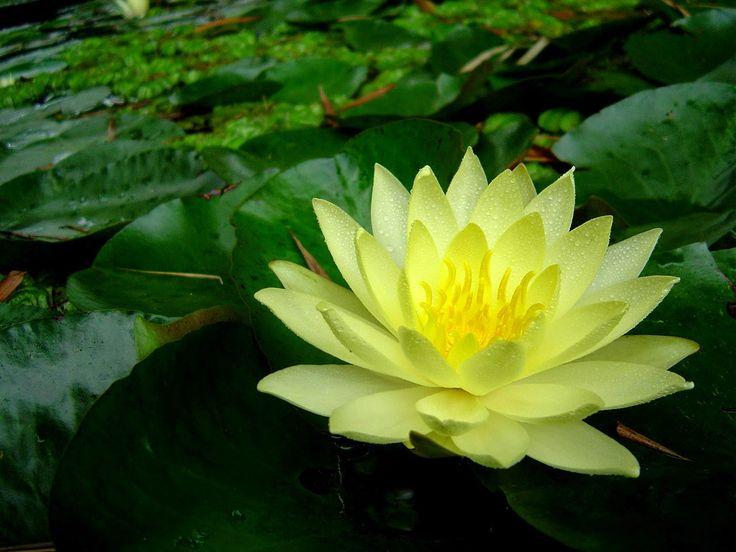 Thoughts of an Otaku: Significado das cores das flores de Lótus                                                                                                                                                                                 Mais