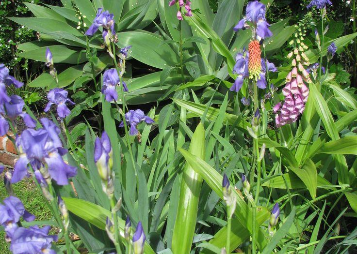 Iris, Foxgloves (digitalis)