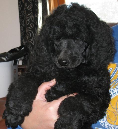 black standard poodle puppy - photo #4