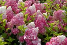 Big Promotion! 100 Pieces/Bag Vanilla Strawberry Hydrangea Flower Seeds for Planting Flower Bonsai or tree Seeds Home Garden(China (Mainland))