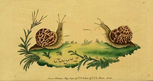 Common Garden Snail, Georgius Shaw, The Naturalist's Miscellany (1790-1801).