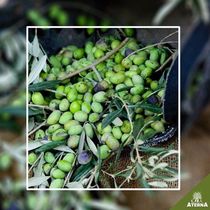 Zeytinle İlgili Kullanılan Bazı Deyimler👉 FIŞKIN;aşılı zeytin fidanı... KORUK; olgunlaşmamış zeytin... KORUK YAĞI; ham zeytinden çıkarılan yağ... ŞIRA; zeytin ezilince çıkan yağlı su... YAĞLIK; yağ çıkarılacak olan zeytin... TURŞULUK; salamura için ayrılan zeytin... SOFRALIK; yemeklik zeytin... AYAK YAĞI (TOPUK YAĞI); ilkel yöntemler kullanılarak çıkarılan yağ... Veee devamı haftaya bizi takipte kalın 😊 www.aterna.com.tr #aterna #aternazeytin #zeytin #dogalzeytin #organikzeytin #dikili…