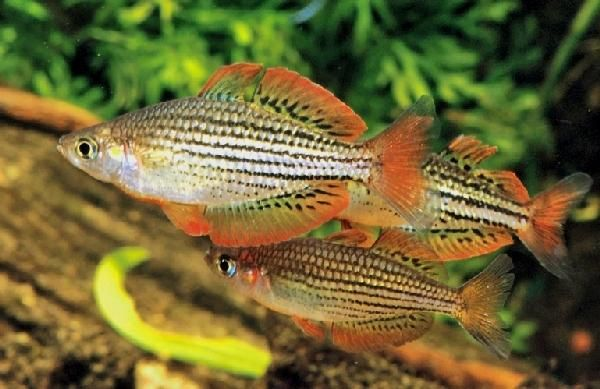 Melanotaenia maccullochi dwarf rainbowfish aquarium for Dwarf rainbow fish