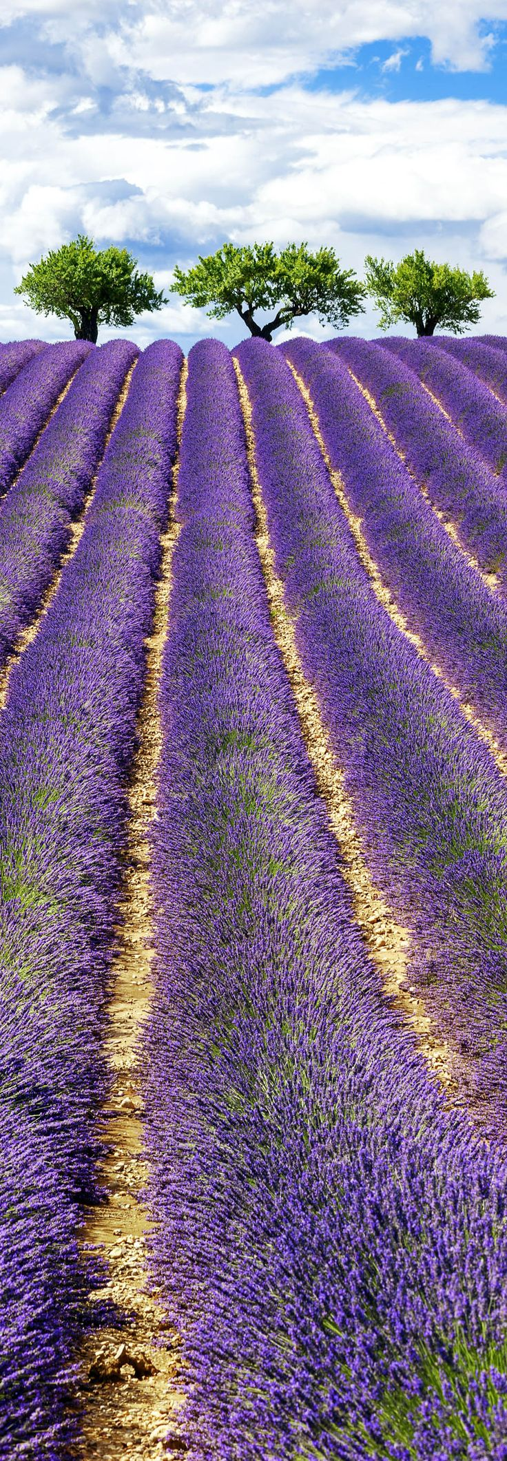 Famous View of Lavender Field with Cloudy Sky in Provence, France    |   13 Amazing Photos of Lavender Fields that will Rock your World
