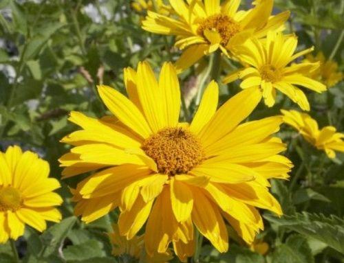 Érdes napszemvirág