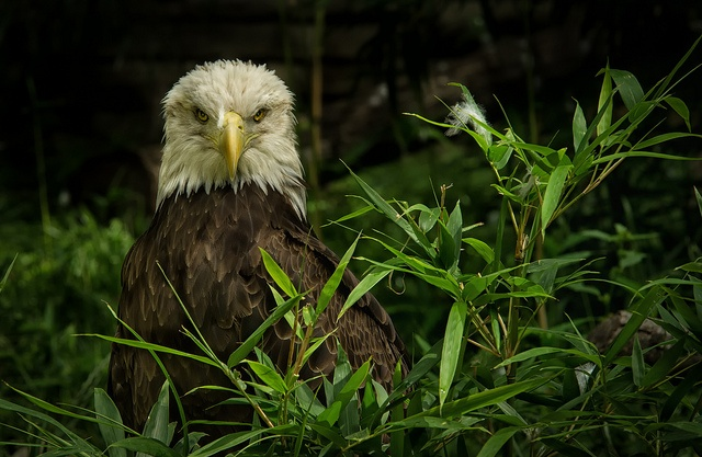 Juvenile Bald Eagle After Preening by SCHMEGGA, via Flickr