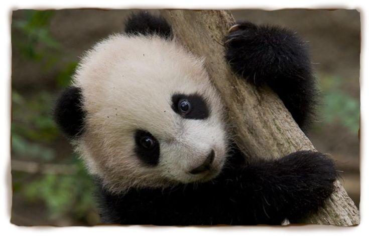 Panda Facts For Kids: Panda, Giant Panda, Panda Pictures, Panda ...