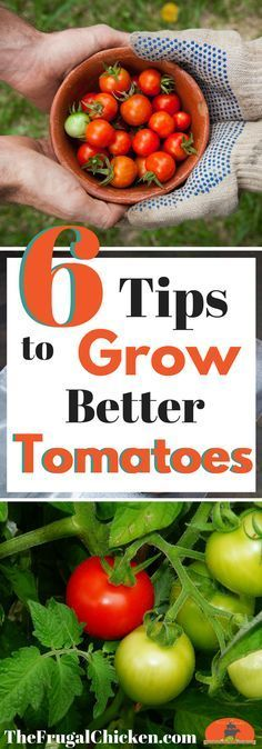Growing tomatoes can go great...or it can be a total disaster. Here's 6 tips to growing great tomatoes so you can have a huge harvest!
