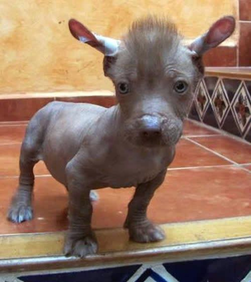 Top 10 Strangest Looking Dog Breeds ~ The Pet's Planet ...Xoloitzcuintle Con Pelo