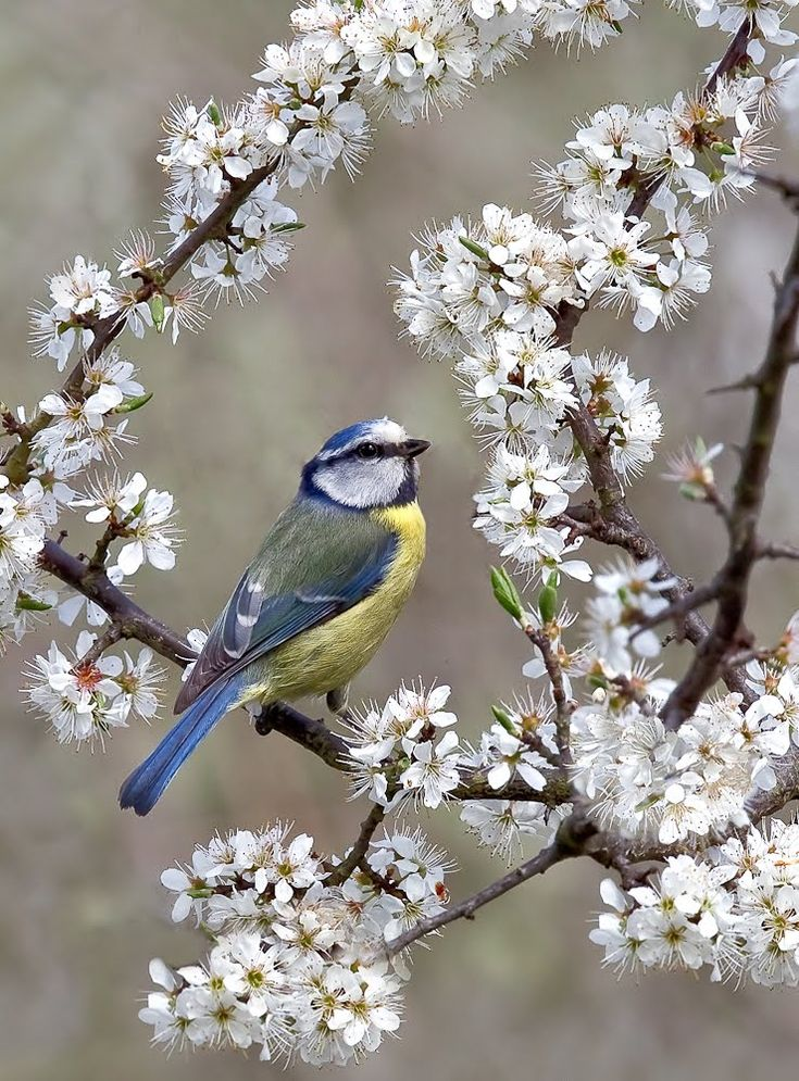 *+*Mystickal Faerie Folke*+*... Blue Tit in the Blossoms... By Artist Ann Miles, England...