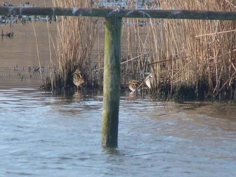 Snipe: lying low | Nature Notes