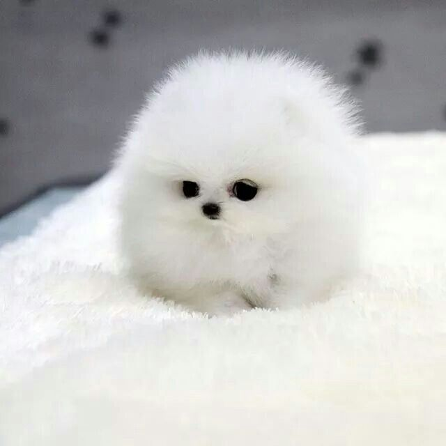 Cool Cuby Chubby Adorable Dog - 99d224df89c4e35c61b848aca3da99ee--snowball-too-cute  2018_74276  .jpg