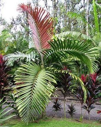 Chambeyronia  macrocarpa (Red leaf palm)
