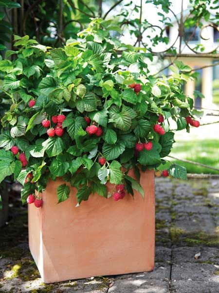No yard is too small for growing BrazelBerries' Raspberry Shortcake raspberry bush. This new dwarf variety forms a compact, thornless mound no wider than 3 feet yet produces sweet, full-size summer fruit.  About $30 each; brazelberries.com | thisoldhouse.com