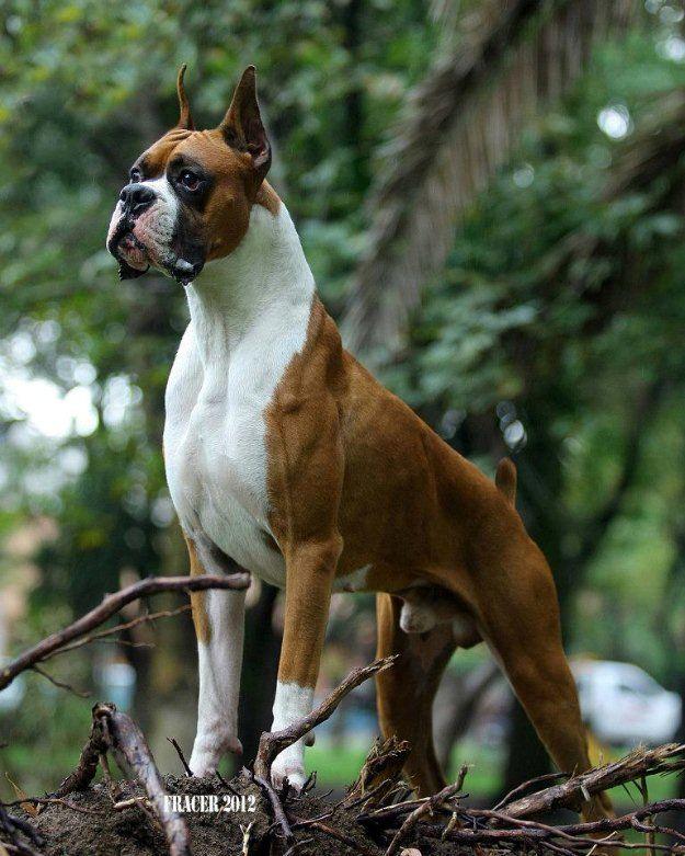 Cachorros Boxer Pedigree Int Excelente Ca Tlalnepantla De