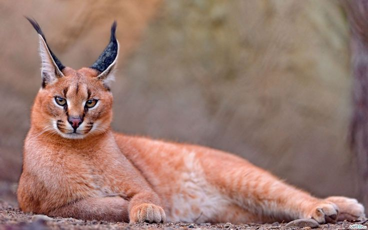 Long eared wild cat