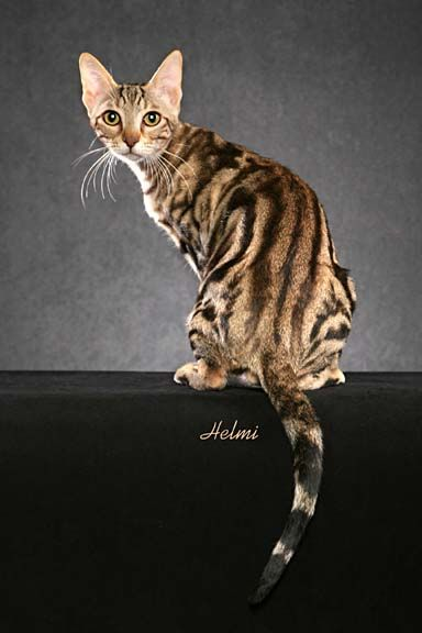 """The Sokoke cat, or the Khadzonzo, is a rare cat breed hailing from Kenya. The word """"Khadzonzs"""" translates into """"looks like tree bark,"""" referencing the distinctive coloring and pattern that the Sokoke cat has become renowned for."""