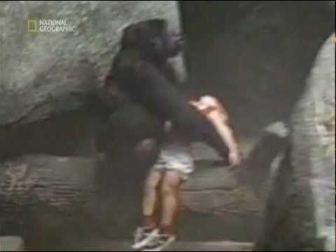Ребенок упал в вольер с гориллами - YouTube