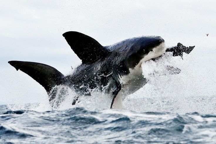 <p>Nature documentary on the Great White Shark, king of sharks - a living legend.The great white shark, Carcharodon carcharias, also known as the great white, white pointer, white shark, or white death, is a species of large lamniform shark which can be found in the coastal surface waters of all the major oceans. The great white shark is mainly known for its size, with the largest individuals known to have approached or exceeded 6 m (20 ft) in length, and 2,268 kg (5,000 lb) in weight. This…