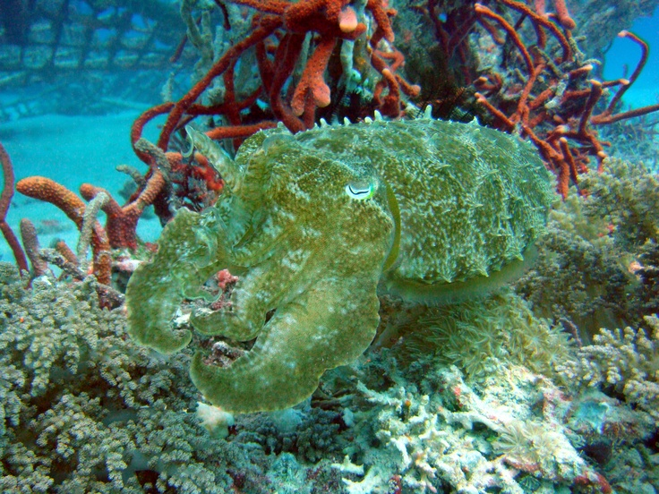 The amazing cuttlefish, flashing colors to confuse its prey