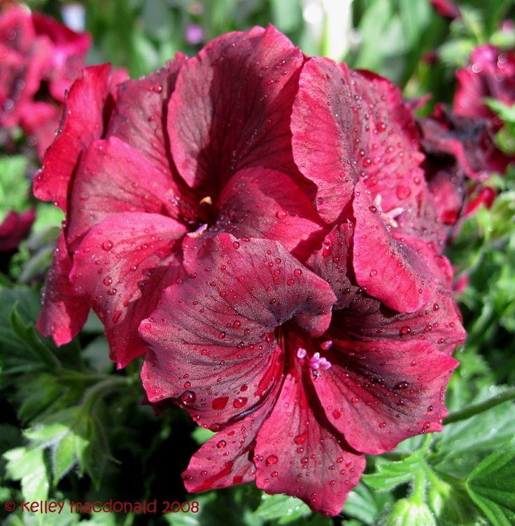 Martha Washington Geraniums Care: 56 Best Pelargoniums (Geranium) Images On Pinterest