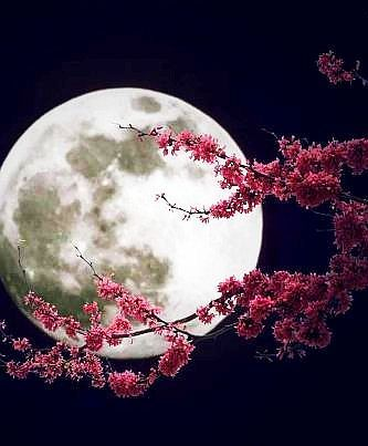 SAKURA MOON: What is more iconic in Japanese culture and art than the cherry blossom and the moon? http://yournewvitality.com/
