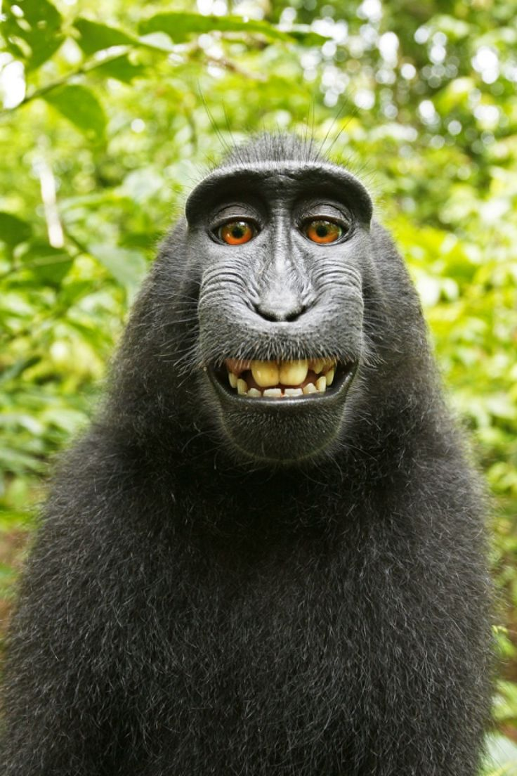 If a monkey takes a selfie in the forest, who owns the copyright? No one, says Wikimedia. - The Washington Post