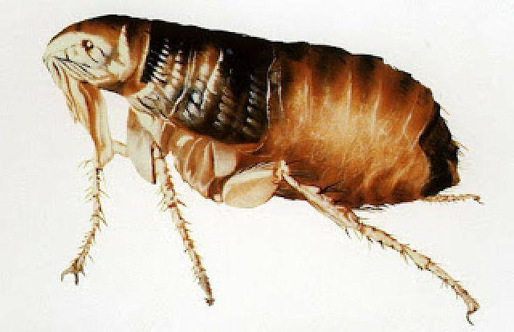 Remedios caseros contra las pulgas