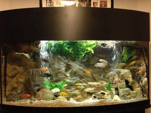 72 gallon bow front mixed malawi peacock cichlid aquarium for African cichlid rock decoration