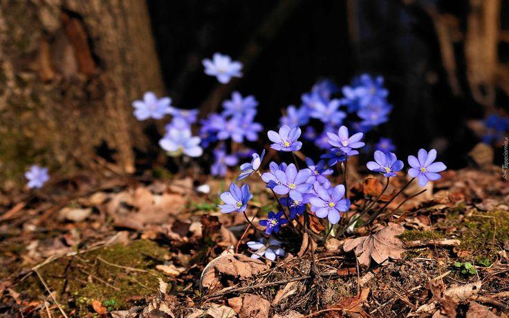 Przylaszczki, Wiosna