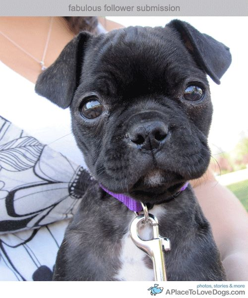 Boston Terrier Mixed With A Pug In Otherwords A Bugg Or The Cutest