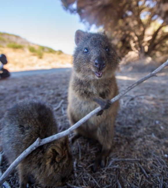 Quokka looks so happy!!