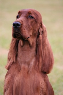 Irish Setters have high energy levels, are fun loving, playful, and very affectionate!