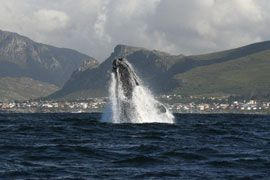 Kleinmond is part of the Cape's whale route - town on the horison/ #kleinmond #whales