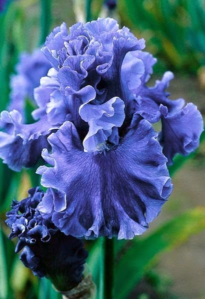 'Sea Power' Tall Bearded Iris