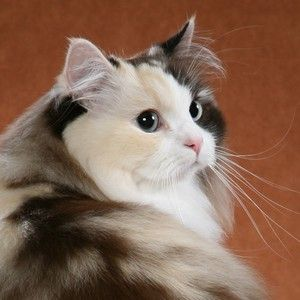 Doctor's Orders: Get a therapy animal! Why not the: Ragamuffin Cat also known as the lap cat, floppy cat (pick them up and they go limp), sweetest cat, most loving cat etc etc… so darn cute
