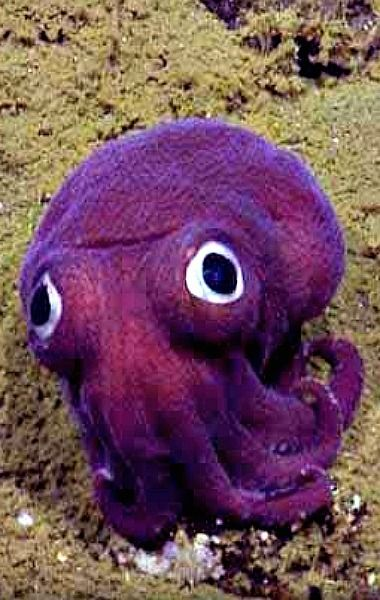 Some animals are so strangely sweet that seem almost unreal. It is a strange bug-eyed cephalopod creature that looks like a soulless doll, did not even flinch when the camera is closer to him.