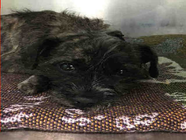 SAVED🆘TIRAMISU – A1126628 - SUPER URGENT BROOKLYN - 🆘 **FEMUR FRACTURE NEEDS FOLLOW UP VET CARE** FEMALE, TRICOLOR, AFFENPINSCHER MIX, 2 yrs STRAY – STRAY WAIT, NO HOLD Reason STRAY Intake condition INJ MINOR Intake Date 09/26/2017, From NY 11221, DueOut Date 09/29/2017, Medical Behavior Evaluation GREEN