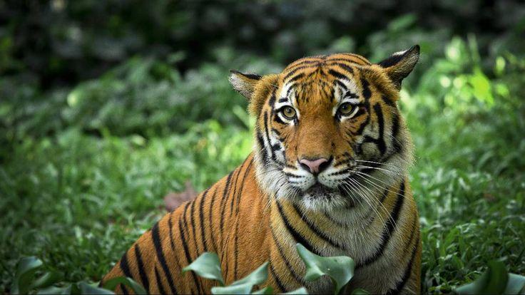 To tigre rømte fra et senter for omplasserte dyr i Oldeberkoop i Nederland lørdag.