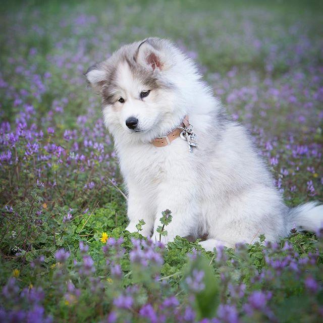 Isn T She The Sweetest Huskies On Instagram Cute Dogs Dog
