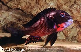 "Scientific Name: Tropheus sp. ""Red"" (Lupota) Common Name(s): Purple Collar"