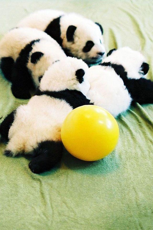 Aw... baby pandas are soooooo cute!