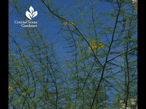 Desert Museum Palo Verde, Oak tree problems | Daphne Richards |Central T...